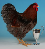 Latest poultry competition news articles and pictures